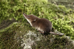 Gemeenschappelijke spitsmuis, Sorex-araneus Royalty-vrije Stock Foto's