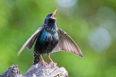 Gemeenschappelijke Starling Royalty-vrije Stock Afbeelding