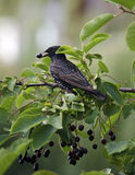 Gemeenschappelijke Starling stock foto's