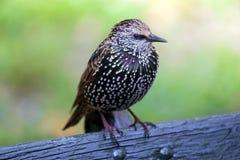 Gemeenschappelijke Starling Stock Afbeeldingen