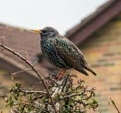 Gemeenschappelijke Starling, Gloucestershire, Cotswolds royalty-vrije stock foto