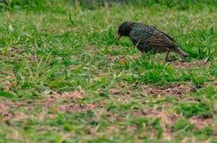 Gemeenschappelijke Starling in Groen Gras vulgaris Sturnus stock afbeeldingen