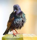 Gemeenschappelijke Starling-vogel Royalty-vrije Stock Afbeeldingen