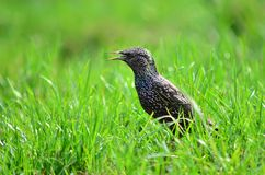 Gemeenschappelijke Starling (vulgaris Sturnus) Royalty-vrije Stock Foto's