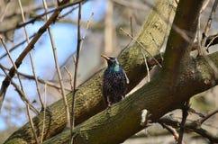 Gemeenschappelijke Starling (vulgaris Sturnus) Stock Foto