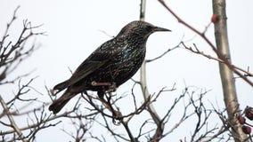 Gemeenschappelijke Starling (vulgaris Sturnus) Stock Afbeeldingen