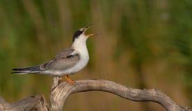 Gemeenschappelijke Stern - Borstbeenderenhirundo - jeugdvogel Stock Afbeelding