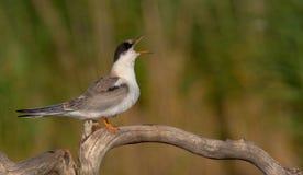 Gemeenschappelijke Stern - Borstbeenderenhirundo - jeugdvogel Royalty-vrije Stock Afbeeldingen