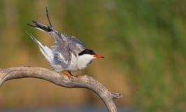 Gemeenschappelijke Stern - Borstbeenderenhirundo - volwassen vogel stock fotografie