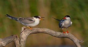 Gemeenschappelijke Stern - de volwassen en jeugdvogels van Borstbeenderenhirundo - Stock Foto's