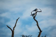 Gemeenschappelijke Sternen in een boom bij Bradgate-Park Royalty-vrije Stock Fotografie