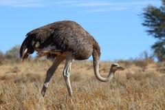 Gemeenschappelijke Struisvogel Royalty-vrije Stock Foto