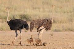 Gemeenschappelijke Struisvogel Stock Afbeeldingen