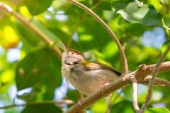 Gemeenschappelijke sutorius die van Tailorbird Orthotomus op tak neerstrijken stock foto's