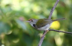 Gemeenschappelijke Tailorbird (sutorius Orthotomus) Stock Foto's