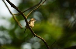 Gemeenschappelijke Tailorbird, wilde vogel in Vietnam stock fotografie