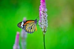 Gemeenschappelijke tijgervlinder Stock Foto's