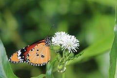 Gemeenschappelijke Tijgervlinder en bloemen Stock Fotografie