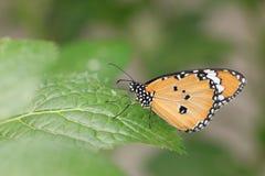 Gemeenschappelijke Tijgervlinder en groen blad Stock Fotografie