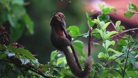 Gemeenschappelijke treeshrew of zuidelijke glis die van treeshrewtupaia bessen op boomtak eten stock video