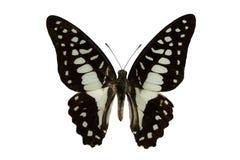 Gemeenschappelijke Vlaamse gaai (vlinder) stock afbeelding