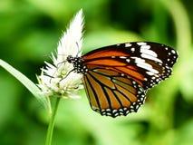 gemeenschappelijke vlinder Royalty-vrije Stock Afbeeldingen