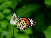 gemeenschappelijke vlinder Stock Foto's
