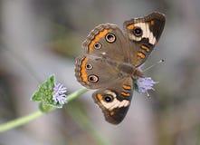 Gemeenschappelijke Vlinder Buckeye Royalty-vrije Stock Fotografie