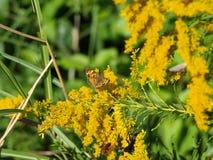 Gemeenschappelijke Vlinders en Bijen op Goldenrod Royalty-vrije Stock Afbeeldingen