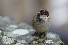 gemeenschappelijke vogel Royalty-vrije Stock Foto's