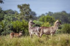 Gemeenschappelijke Waterbuck in het Nationale park van Kruger, Zuid-Afrika stock foto