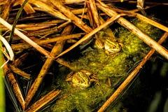Gemeenschappelijke waterkikkers in een vijver Stock Foto