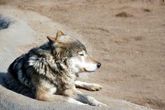 Gemeenschappelijke wolf Stock Foto