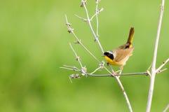 Gemeenschappelijke Yellowthroat Royalty-vrije Stock Fotografie