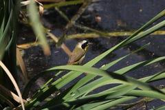 Gemeenschappelijke Yellowthroat Royalty-vrije Stock Afbeeldingen