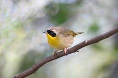 Gemeenschappelijke Yellowthroat Royalty-vrije Stock Foto's