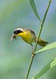 Gemeenschappelijke Yellowthroat met Insecten Stock Foto's