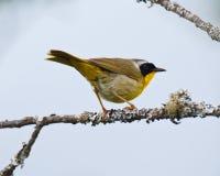 Gemeenschappelijke Yellowthroat op een tak Stock Foto's