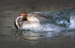 Gemeenschappelijke Zaagbek Duck With een Vis Royalty-vrije Stock Foto's