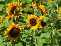 Gemeenschappelijke Zonnebloemen op het gebied Stock Foto