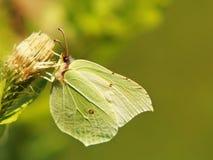 Gemeenschappelijke zwavel (gonepteryx rhamni), (12) Royalty-vrije Stock Foto