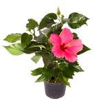gemegd hibiscus Στοκ φωτογραφίες με δικαίωμα ελεύθερης χρήσης