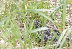 Gemeine Additionsmaschine oder Viper auf Gras Lizenzfreie Stockbilder