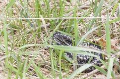 Gemeine Additionsmaschine oder Viper auf Gras Lizenzfreie Stockfotografie