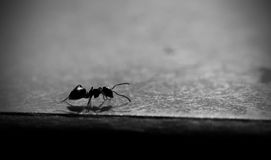 Gemeine Ameise in Schwarzweiss stockfotografie