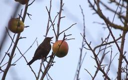 Gemeine Amsel der Frau (Turdus merula) sitzend auf einem bloßen Baum mit einem Apfel Lizenzfreie Stockfotografie