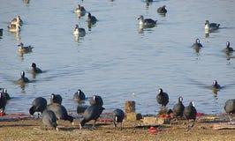 Gemeine Blässhühner und Fleckschnabelente, Randarda See, Rajkot Stockfotos