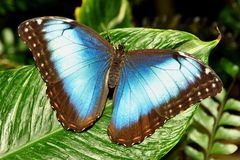 Gemeine blaue Morpho Basisrecheneinheit Lizenzfreie Stockbilder
