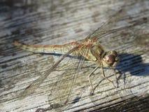 Gemeine Darter-Libelle Großbritannien lizenzfreies stockbild