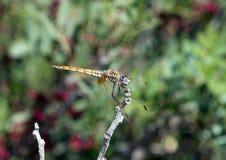 Gemeine Darter-Libelle hockte auf einer blattlosen Niederlassung in Italien Stockfotografie